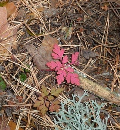 Unas hojas de roble rosadas salen del suelo en el campo