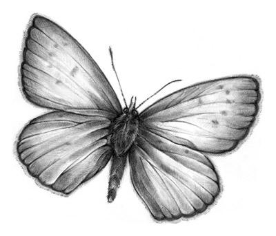 Ilustración: mariposa azul de Xerces