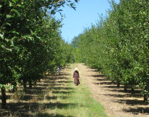Monja paseando entre los ciruelos en Plum Village